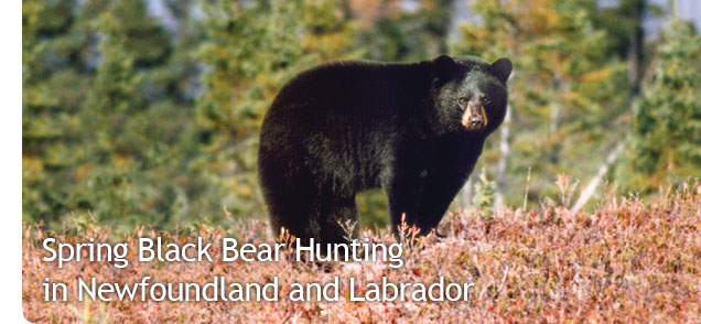 Spring Black Bear Hunting in Newfoundland and Labrador